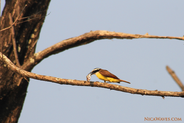 nicaragua birdwatching